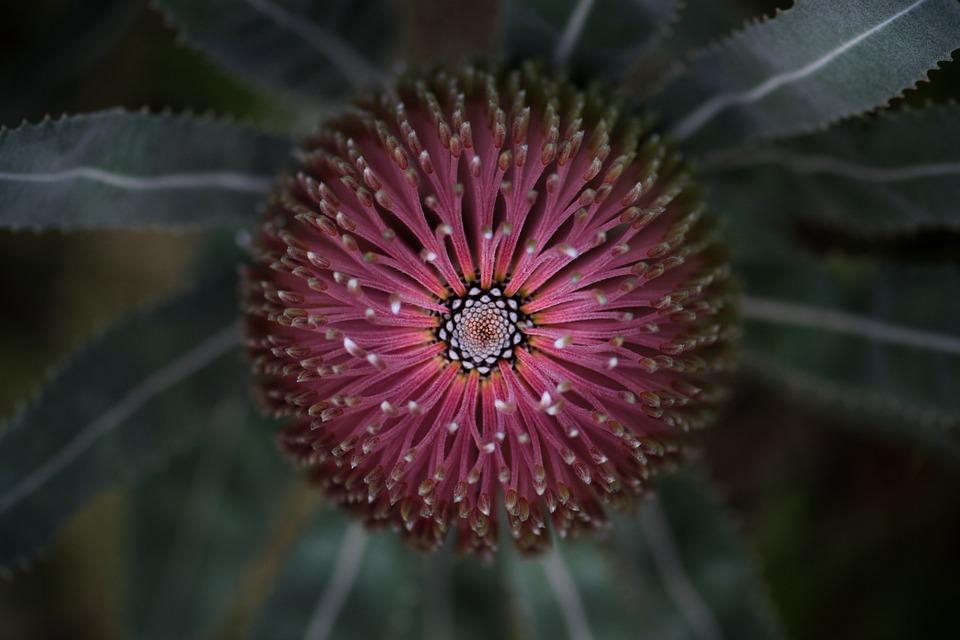 Banksia, Flower, Plant, Pink Flower, Wildflower