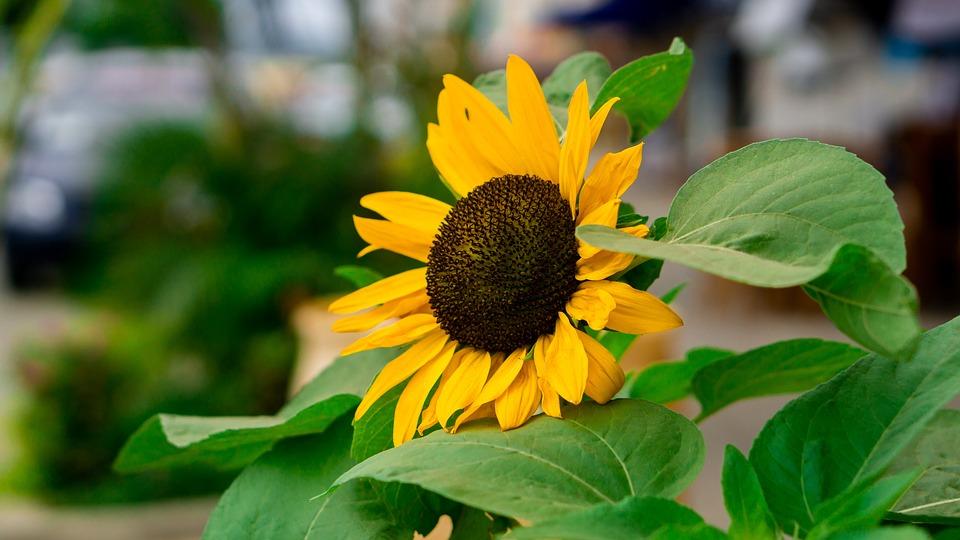 Sunflower, Beach, Plant, Natural, Flowers, Yellow