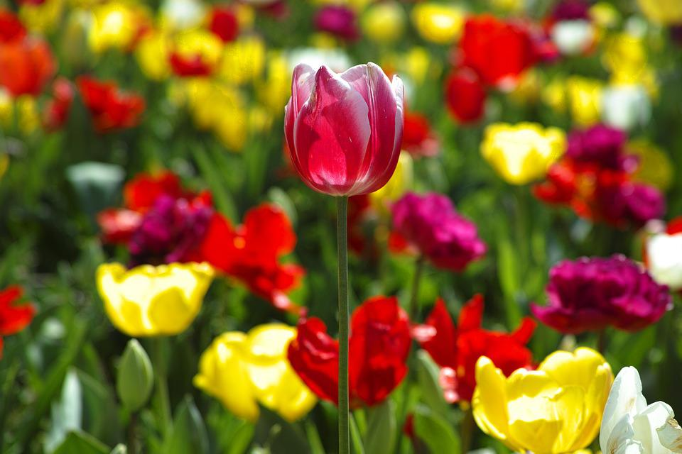 Free photo Plant Beautiful Nature Flowers Flower Tulips - Max Pixel