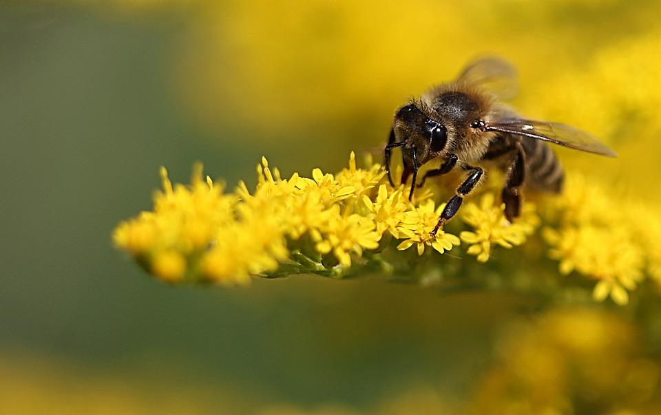 Bee, Yellow, Plant, Insect, Blossom, Bloom, Pollen