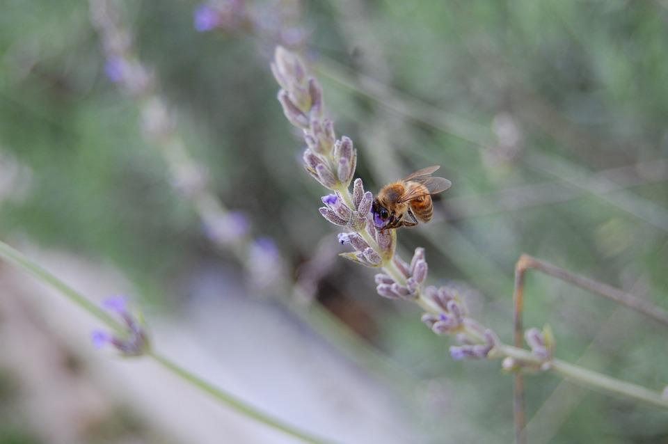 Bee, Nature, Insect, Spring, Plant, Lavender, Blossom