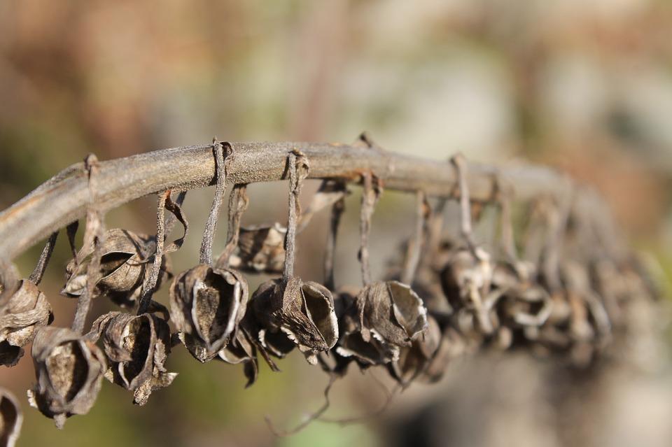 Plant, Bells, Nature, Drought, Death
