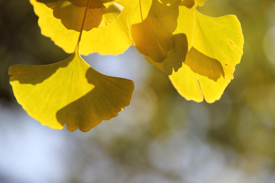 Gingko Leaf, Plant, Autumn, Bicolored Leaf, Ginkgo