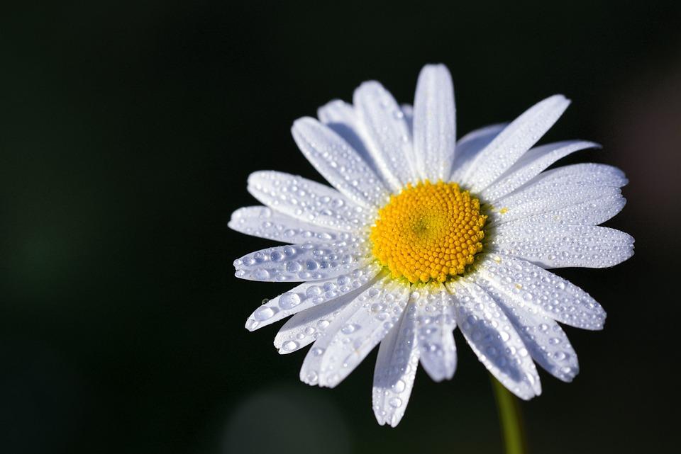 Marguerite, Flower, Blossom, Bloom, Bloom, White, Plant