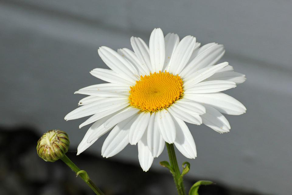 Marguerite, Flower, Plant, Blossom, Bloom, Leaves
