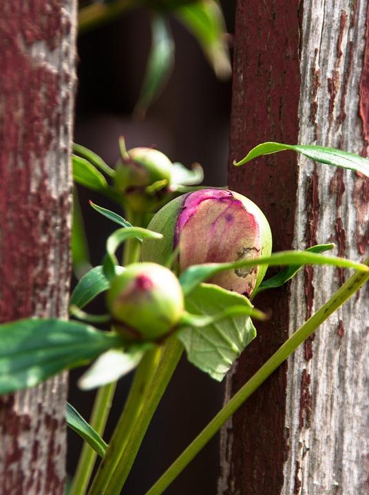 Peony, Bud, Pink, Rose, Blossom, Bloom, Bloom, Plant