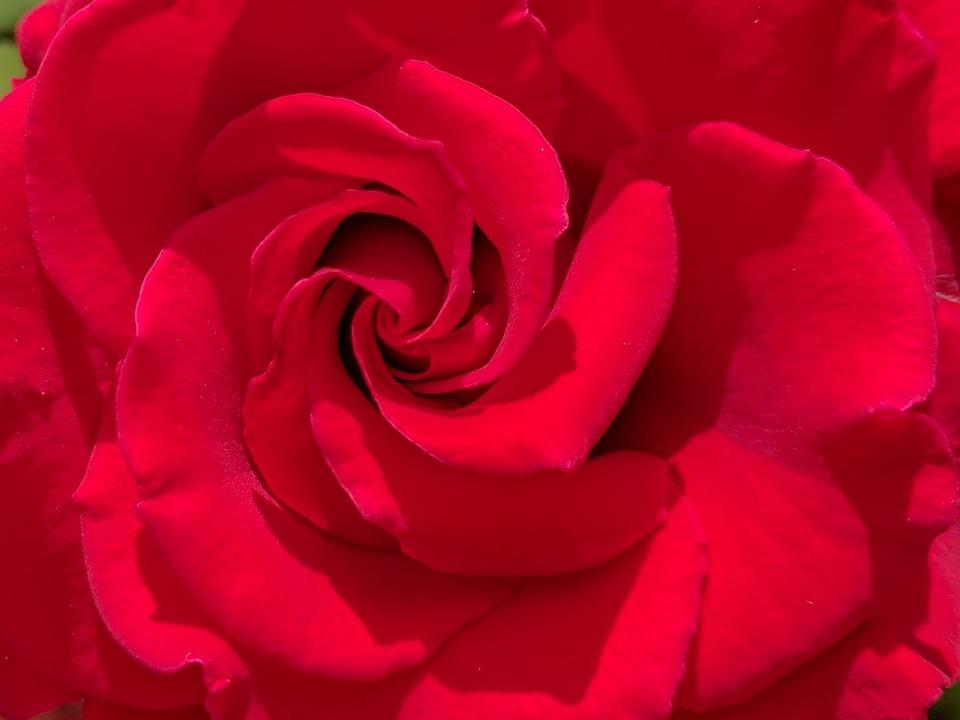 Rose, Red, Blossom, Bloom, Plant, Love, Romantic