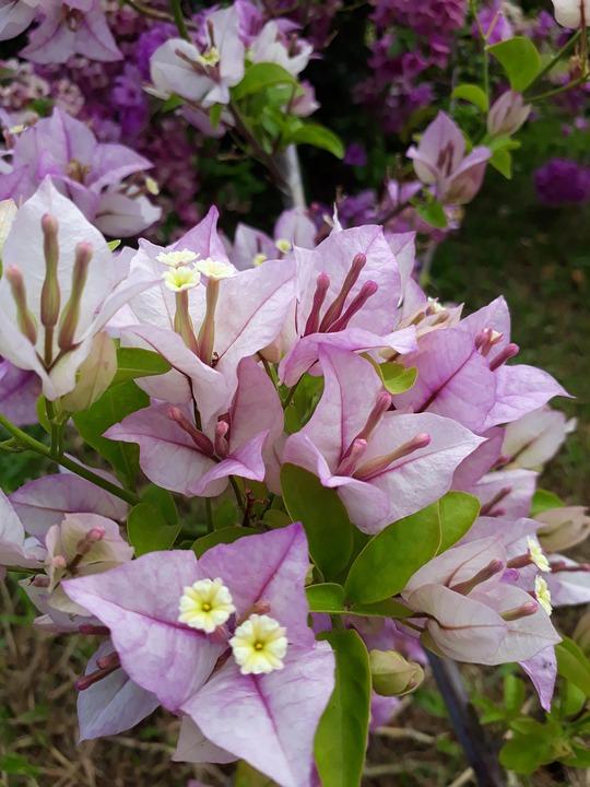 Lavender, Bougainvillea, Flower, Plant, Bloom, Summer