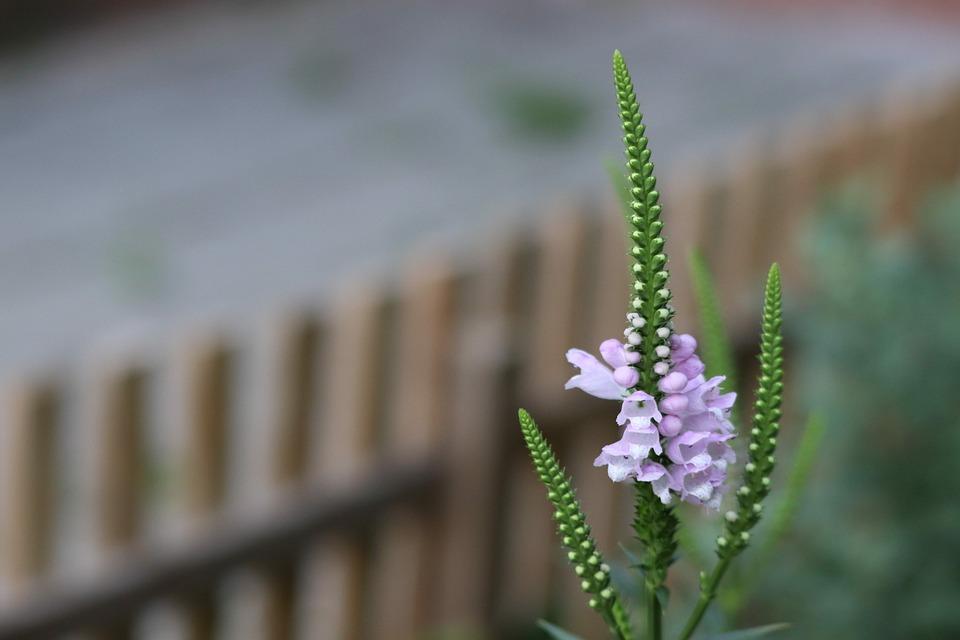 Lupinus, Lupin, Flower, Garden, Nature, Bloom, Plant
