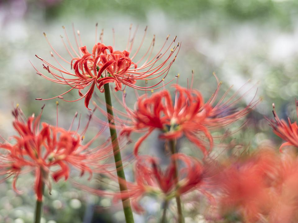 Red Spider Lily, Flowers, Plant, Lycoris Radiata, Bloom