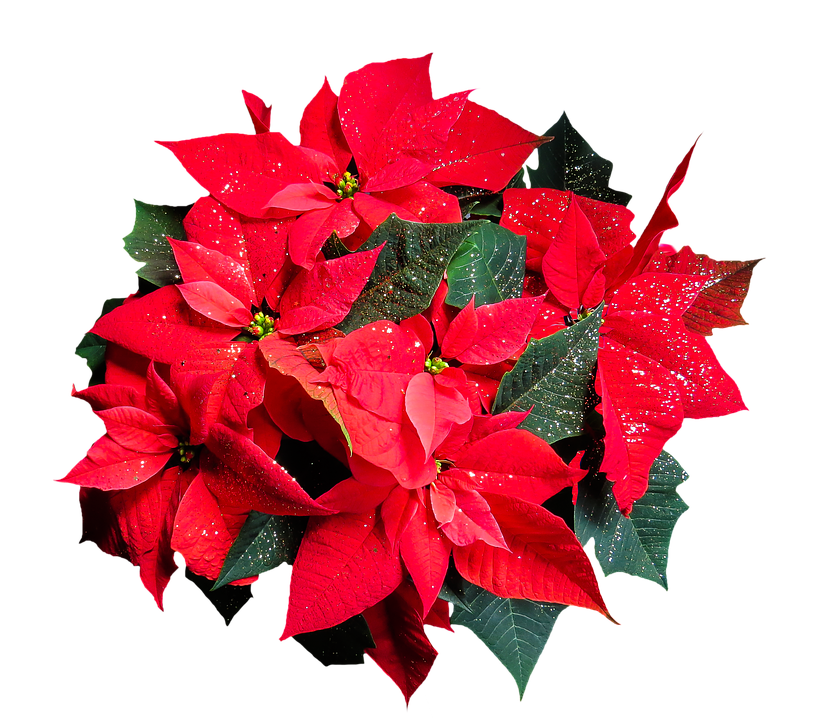 Flower, Poinsettia, Plant, Blossom, Bloom, Png