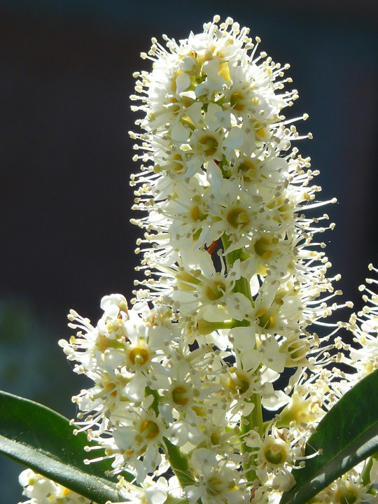 Prunus Laurocerasus, Bush, Blossom, Bloom, White, Plant