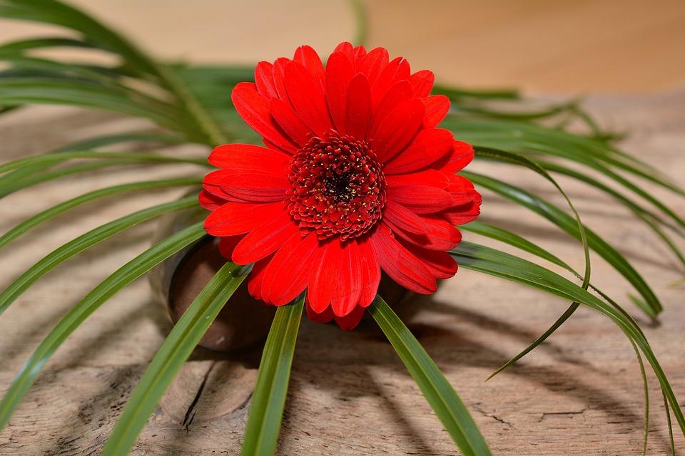 Gerbera, Flower, Blossom, Bloom, Grass, Red, Plant