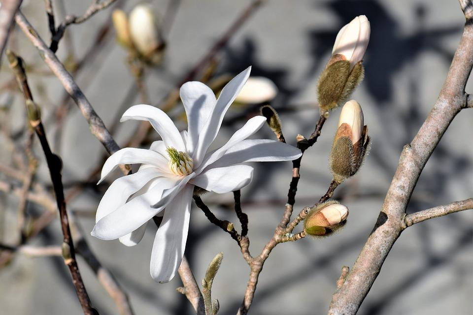 Magnolia, White, Bloom, Blossom, Bloom, Nature, Plant