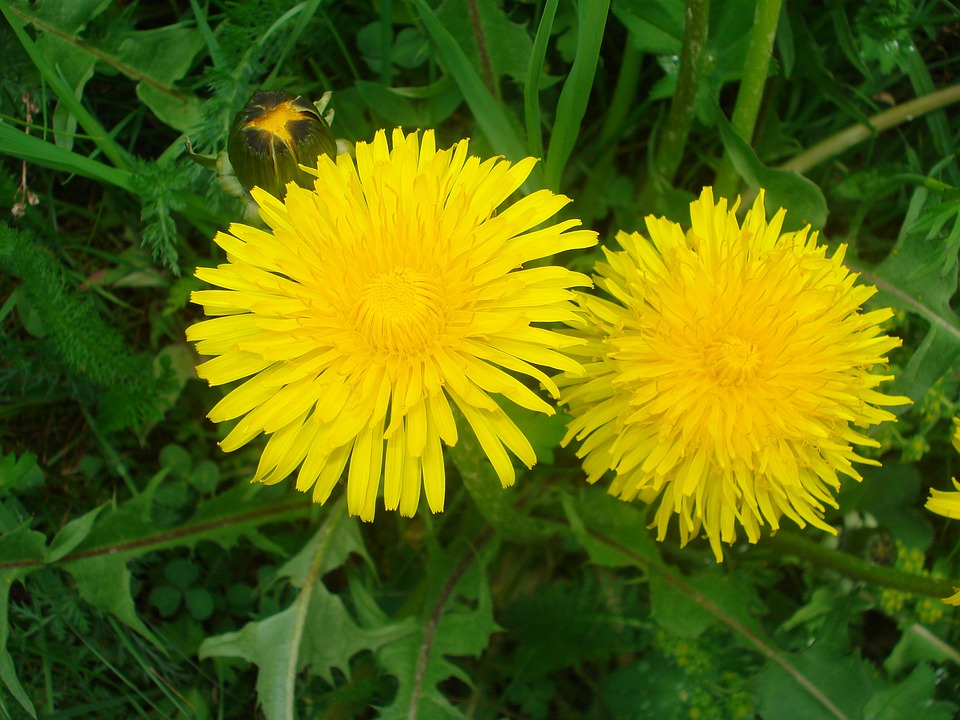 Dandelion, Flowers, Blossom, Bloom, Summer, Plant