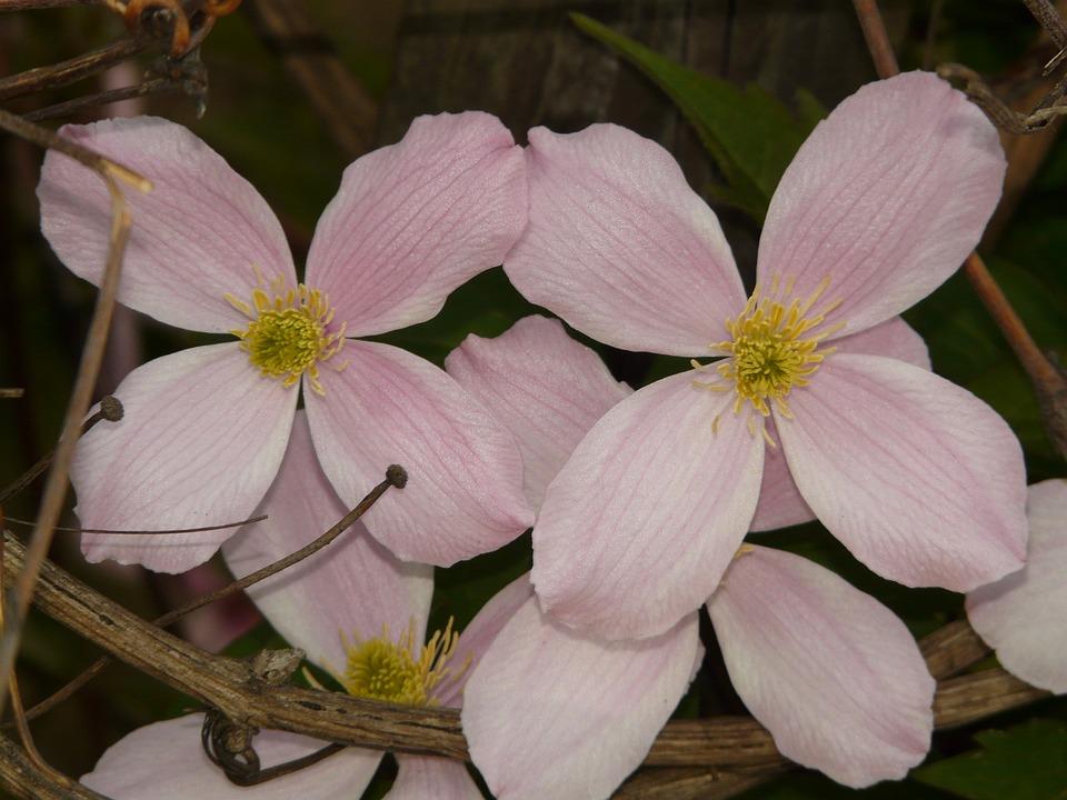 Clematis, Plant, Flower, Blossom, Bloom, Bloom, Spring