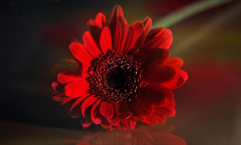 Gerbera, Flower, Blossom, Bloom, Plant, Red, Close