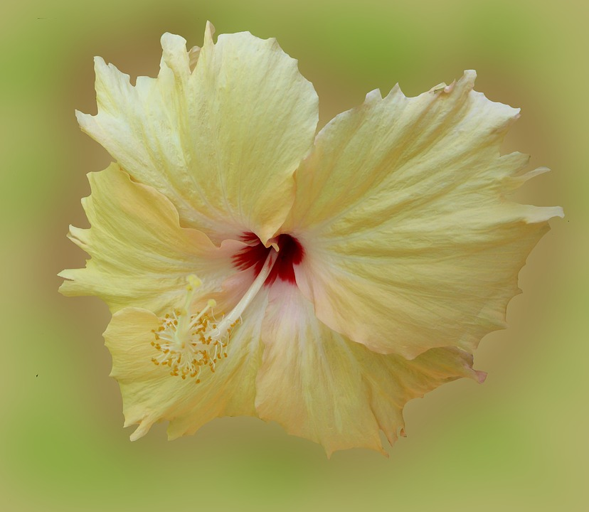Hibiscus, Flower, Blossom, Bloom, Yellow, Plant, Mallow