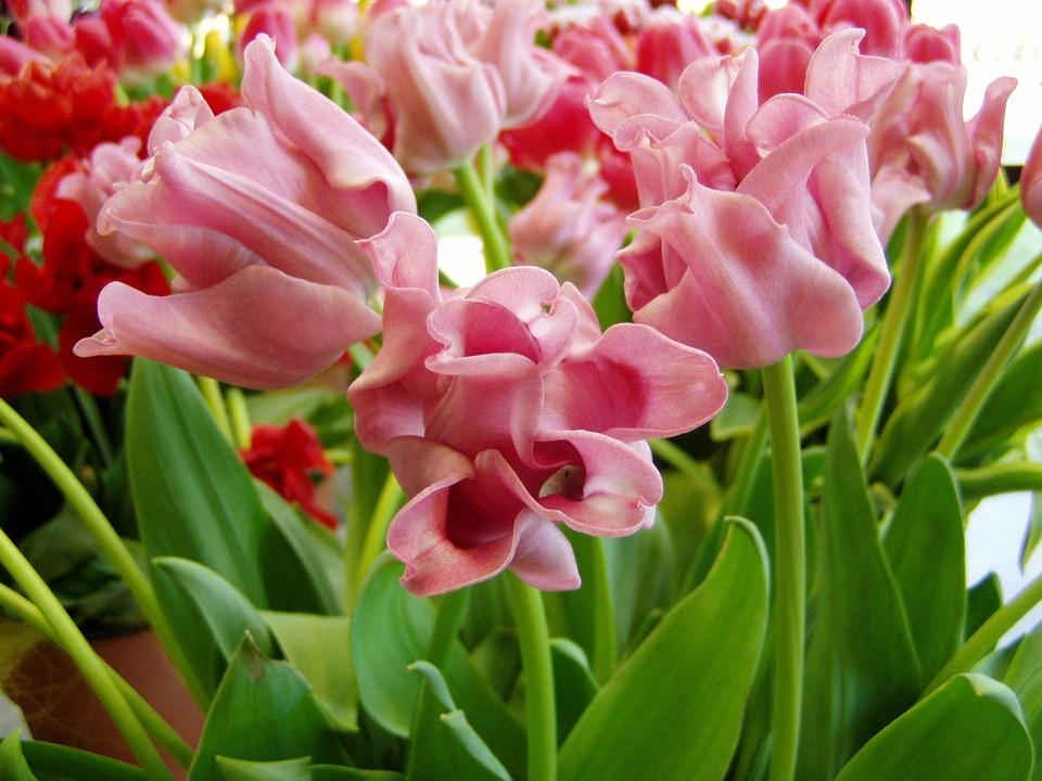 Tulip, Flower, Spring, Blossom, Plant, Petals, Nature