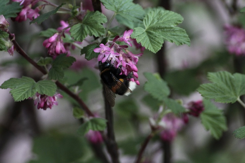 Hummel, Plant, Insect, Close, Nature, Blossom, Bloom
