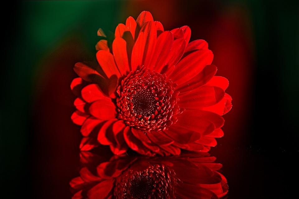 Gerbera, Schnittblume, Flower, Plant, Blossom, Bloom