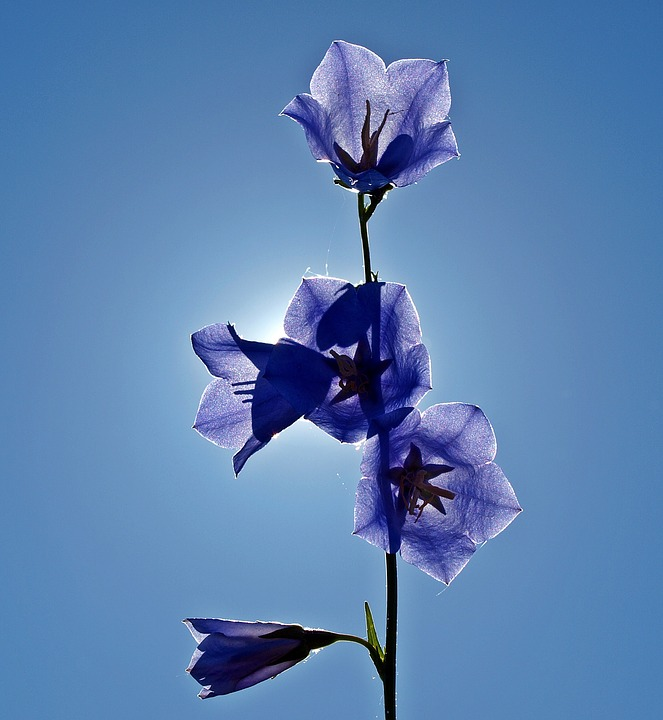 Bellflower, Campanula, Blue, Plant, Blossom, Bloom