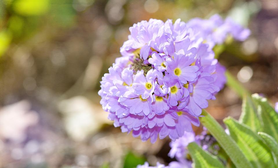 Flower, Blue, Blue Flower, Spring Flower, Plant