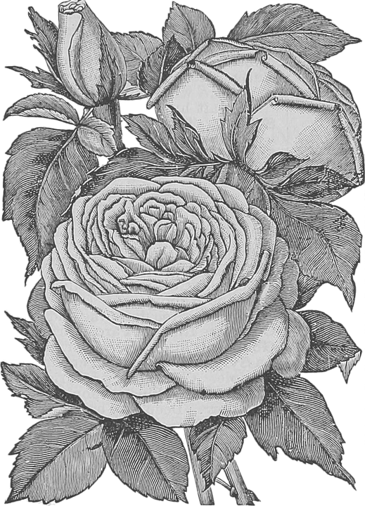 Flowers, Transparent, Roses, Bouquet, Plant