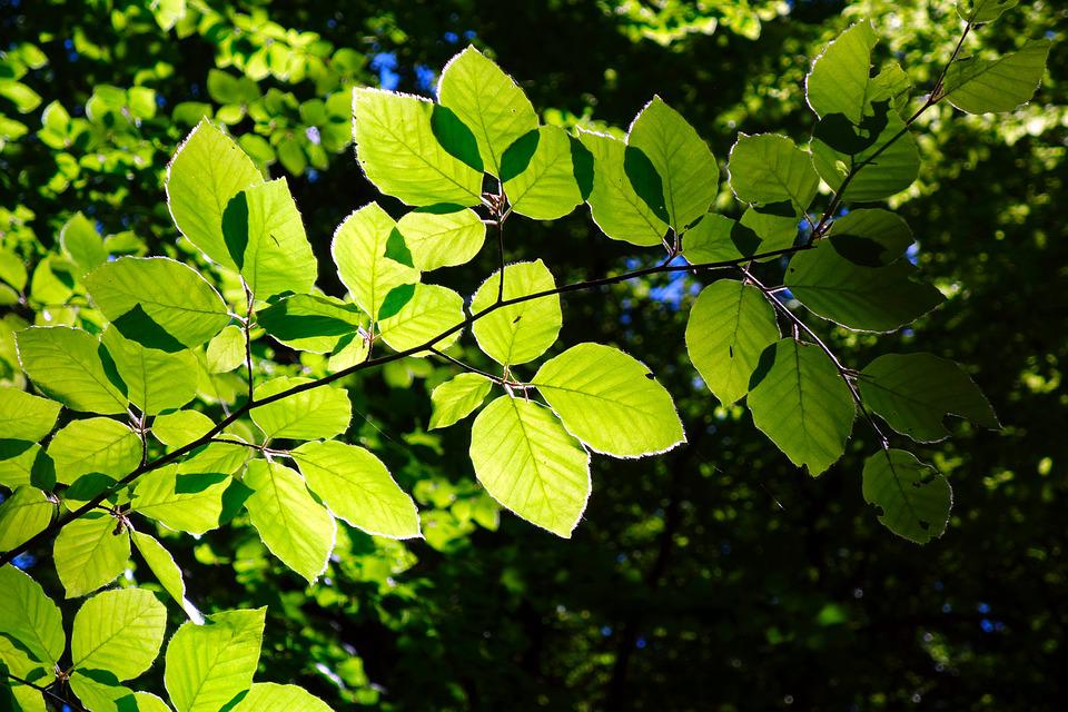 Beech, Branch, Leaf, Nature, Plant, Tree, Growth