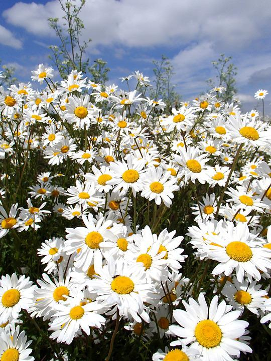 Daisy, Flowers, Summer Flowers, Bright, Floral, Plant