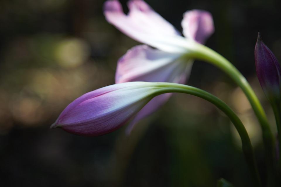 Geranium, Flower, Bud, Pelargonium, Pink Flower, Plant