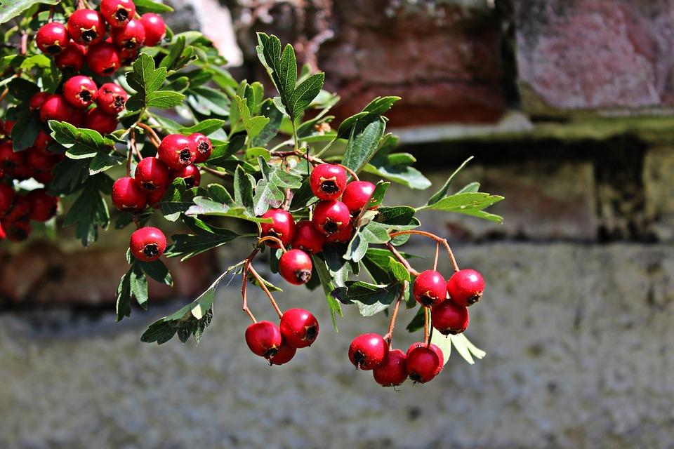 Bush, Berries, Red, Plant, Nature, Rowanberries