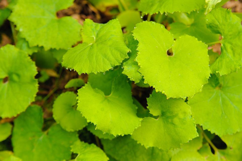 Butterbur, Leaf, Plant