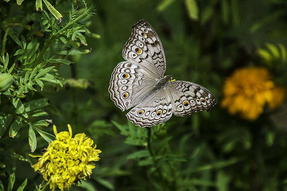Gray Pansy, Butterfly, Plant, Wings, Insect, Animal
