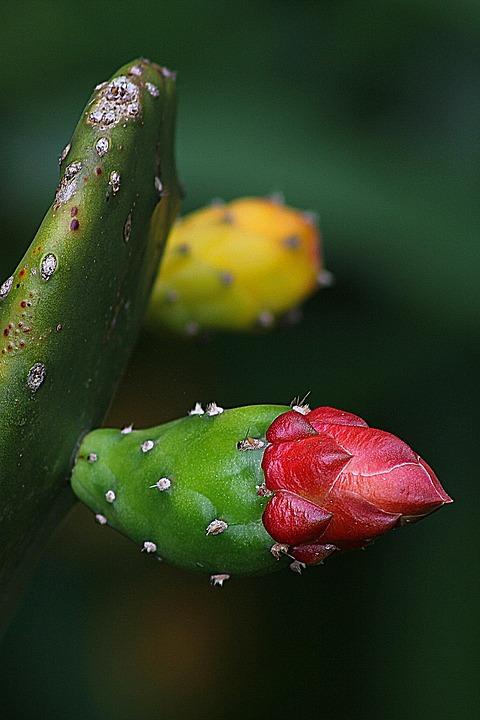 Cactus, Plant, Natural, Blossom, Bloom, Petal