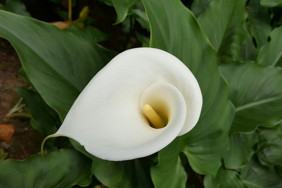 Calla, White, Pure Vegetable Cleansing, Natural, Plant