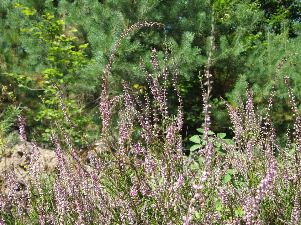 Calluna Vulgaris, Common Heather, Ling, Heather, Plant