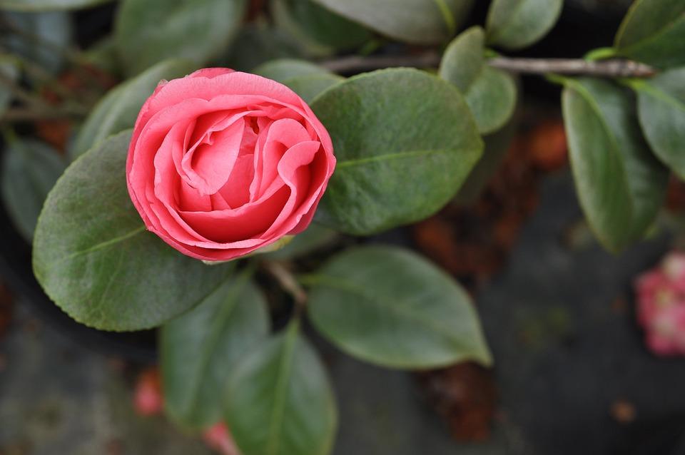 Camellia, Bloom, Spring, Winter, Nature, Flora, Plant