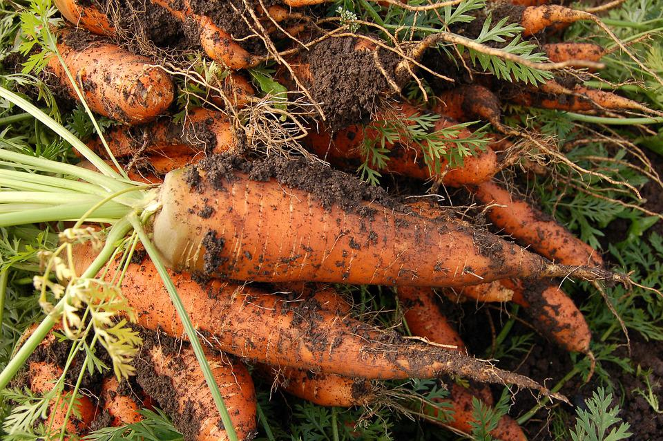 Carrot, Vegetable Garden, Plant, Vegetables