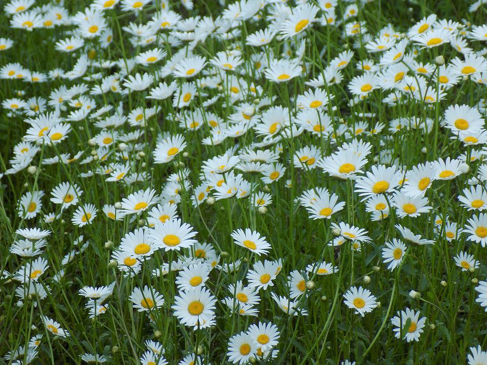 Free photo plant chamomile flowers of the field white flowers max chamomile flowers of the field white flowers plant mightylinksfo