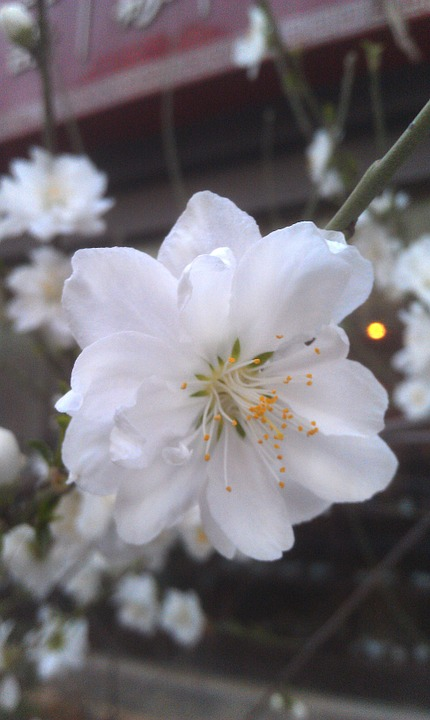 櫻 White Flowers, Cherry Blossoms, Flower, Plant