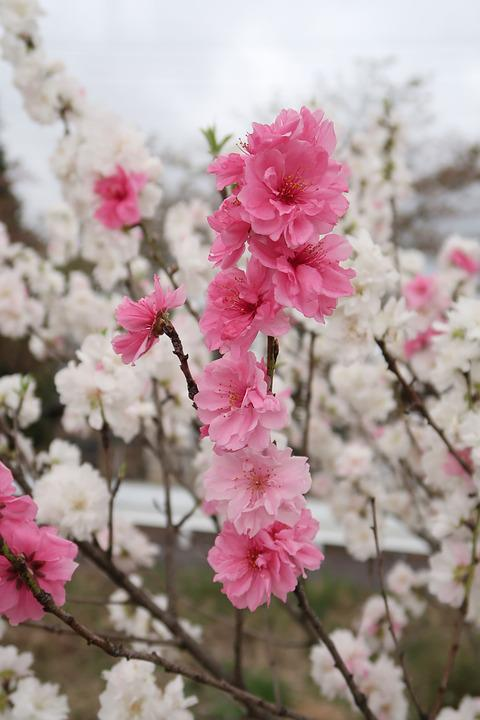 Flowers, Branch, Plant, Cherry Blossoms, Wood, Natural