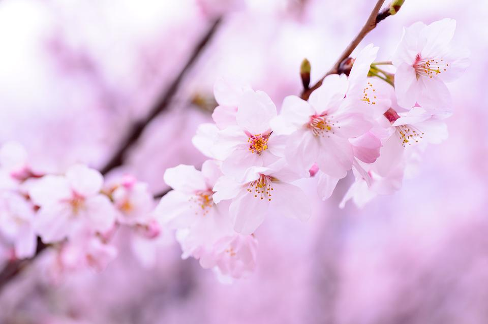 Free photo plant cherry japan natural spring pink flowers max pixel plant spring flowers japan pink natural cherry mightylinksfo