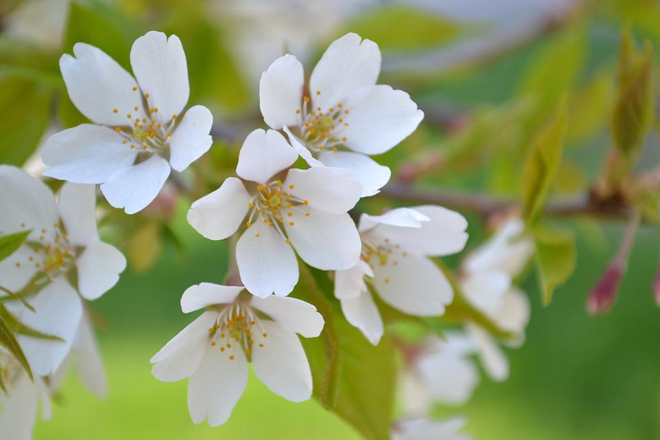 Flowers, Spring, Plant, Handsomely, Cherry, White