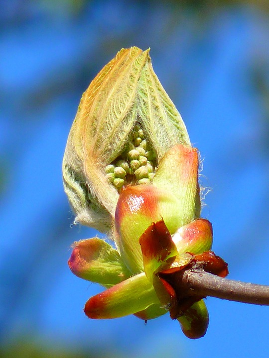 Bud, Chestnut, Chestnut Bud, Tree, Fresh Green, Plant