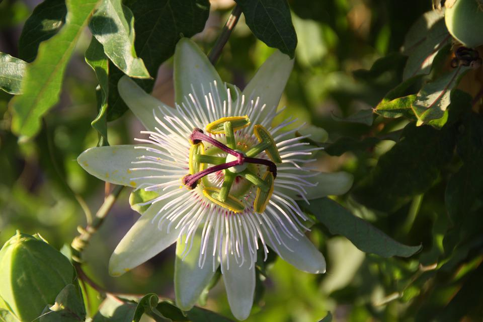 Passion Flower, Passionflower, Climbing, Nature, Plant