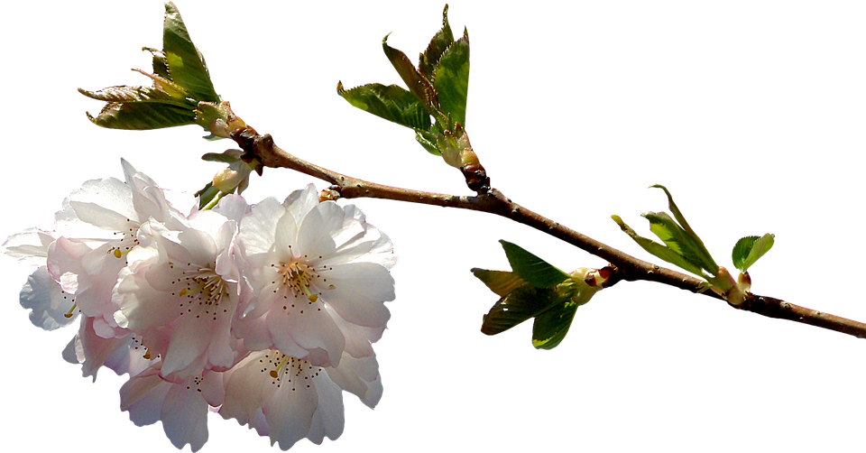 Free Photo Plant Clipping Prunus Graphics Branch Png