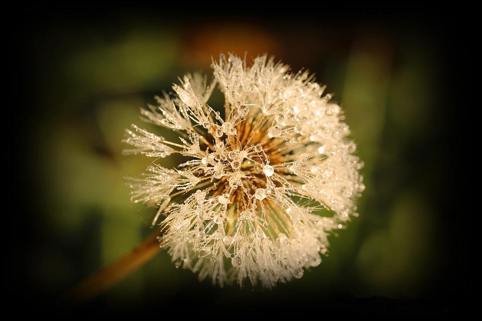 Flower, Dew, Dewdrop, Nature, Plant, Close, Morgentau