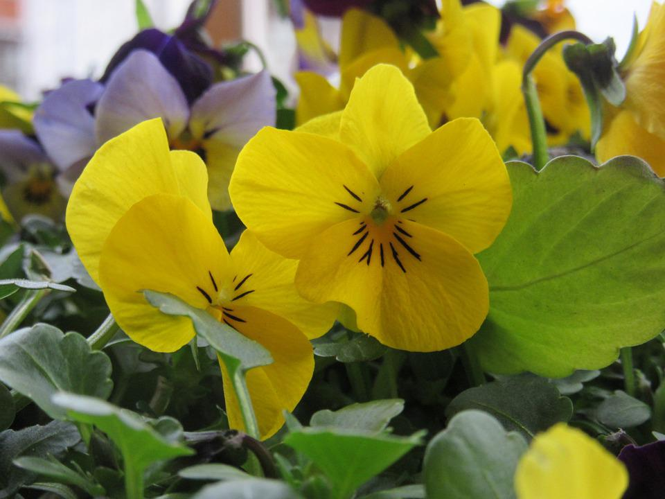 Pansy, Flowers, Yellow, Flower, Plant, Close, Violaceae