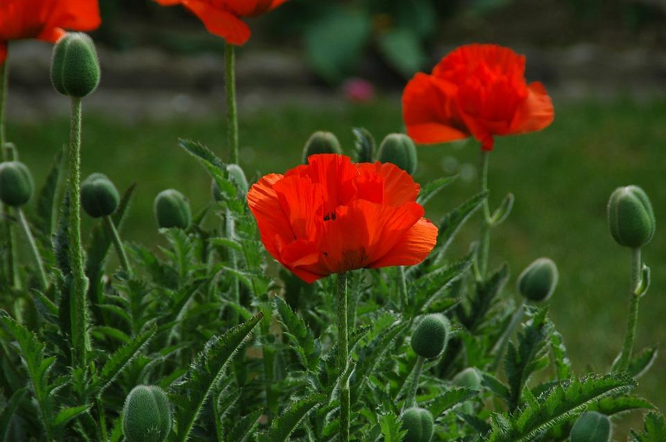 Close, Klatschmohn, Plant, Nature
